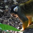 Bolivian Squirrel Monkey by Deborah Clearwater