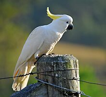 Sulphur Crested Cockatoo. Brisbane, Queensland, Australia. (2) by Ralph de Zilva