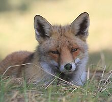 Red Fox - 2369 by DutchLumix