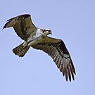 Osprey Fishing by Chuck Gardner