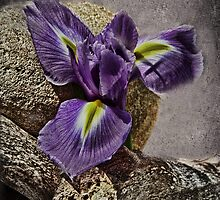 Bearded Iris -  Still Life by Julesrules