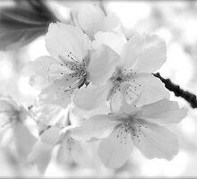 Backyard blossom by Sally Allerton