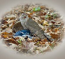 Cooper's Hawk (Accipiter cooperii) With Blue Jay by MotherNature