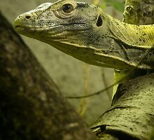 Komodo Dragon at Durrell Zoo  by Daniel James