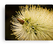 Lemon bottlebrush bloom Canvas Print