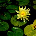 Water Lily!  by Anna Ryan
