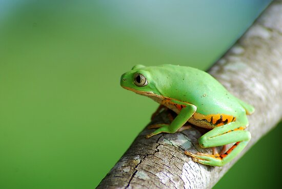 Orange Sided Monkey Frog (Phyllomedusa hypocondrialis) - Bolivia by Jason Weigner