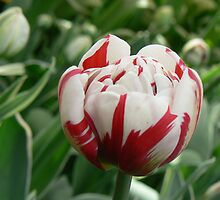 tulip army girl:) by LisaBeth
