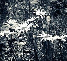 Daisies by Claire Elford