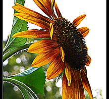 Sunflower Symbolism by kkphoto1