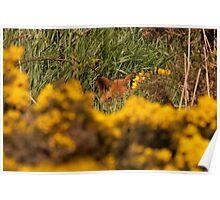 Fox hiding Poster