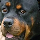 Devoted! - Rottweiler - Dog - NZ by AndreaEL