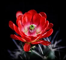 Red Hedgehog Cactus by Saija  Lehtonen