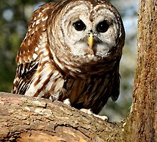 Barred Owl by Lolabud