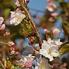 Prunus Amanogawa by WatscapePhoto