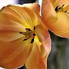 ...more Tulips! by MarieG