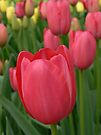 pink tulips by LisaBeth