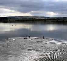 Ducks on the Loch by biddumy