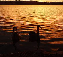 Black Swans on the lake by amgmcpherson