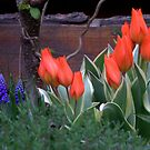 Three Bulbs - Eleven Tulips by Hans Bax