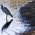 White Faced Heron by orpheus