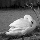 Swan Island by sjlphotography
