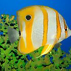 Tropical fish Butterflyfish. by MotHaiBaPhoto Dmitry & Olga