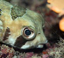 Tropical fish Porcupinefish  by MotHaiBaPhoto Dmitry & Olga