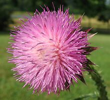 thistle by SusieG