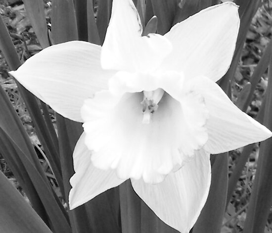 Daffodil by WeeZie