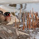 Wood Duck Pairing #2 by Benjamin Brauer