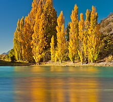 Golden Poplars - New Zealand by Kimball Chen