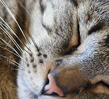Tiger - Lazy Cat by Les Lasater
