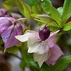 Sweet Hellebores by GardenJoy