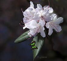 Rhododendron  King among Kings by John44