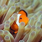 Tropical fish Clownfish by MotHaiBaPhoto Dmitry & Olga