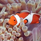 Anemone and Clown-fish by MotHaiBaPhoto Dmitry & Olga