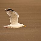 Herring gull in flight by MB-Photography