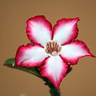 Bushveld star - Impala Lily by Antionette