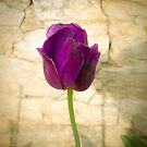 Purple Tulip by G. Patrick Colvin