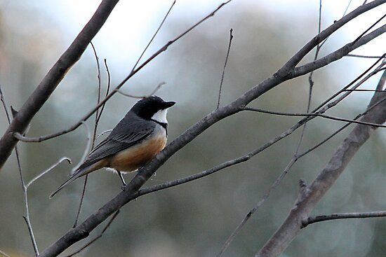 Rufous Whistler Male by EnviroKey