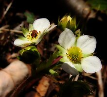 Wild Strawberry Buds by vigor