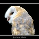 Barn Owl #1 by Rose Santuci-Sofranko