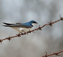 Tree Swallow on Barbed-wire by Mully410