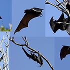Flying Fox by Norman Winkworth