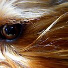 Sam, my Little Yorkie... by eithnemythen