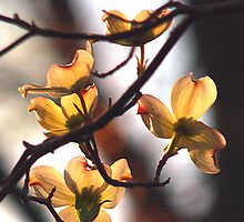 Dogwood Blossoms in the Evening Sun- Danville, VA by BCallahan