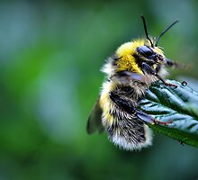 fluffy bee.. by Michelle McMahon