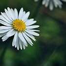 daisy.. by Michelle McMahon