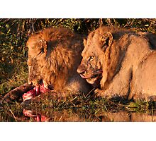 Male Lions Feasting on a kill  Photographic Print
